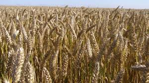 Chicago: corn and soybeans fold, wheat rises